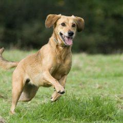 perro-corriendo